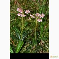 Зимолюбка зонтичная трава продам