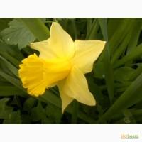 Нарцис жовтий (трубчастий)