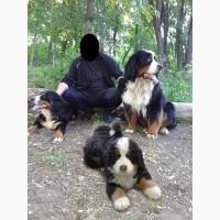 Продам щенков бернской овчарки