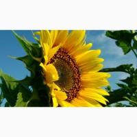 Семена подсолнечника Златсон (F1)