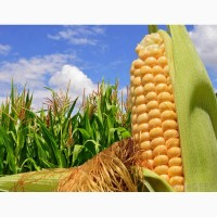 Насіння кукурудзи Тесла (ФАО 350)