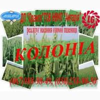 Колоніа насіння озимої пшениці