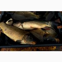 Продам рыбу живую карп