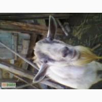 Продам козла зааненского и козочек от него (от обычных коз)