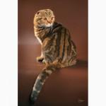 Питомник шотландских кошек Marble Magic