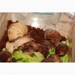 Гігантський африканський равлик ахатін