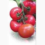 Семена розового томата KASAMORI F1 / КАСАМОРИ F1 фирмы Китано