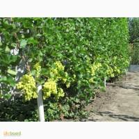Саженцы винограда столовых сортов