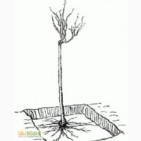 Куплю саженцы шиповника-подвоя для штамбовых роз