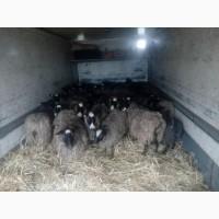 Романовские овцы, ярки
