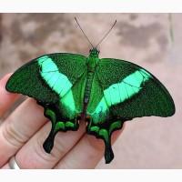 Экзотические Живые Бабочки изАфрики