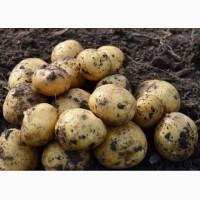 Картофель Ривьера молодой, товарный от производителя оптом