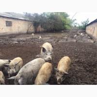 Свиньи, поросята, свині Мангала