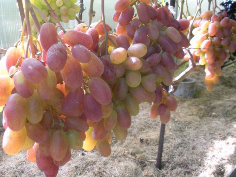 виноград юбилей новочеркасска описание сорта фото уже столько