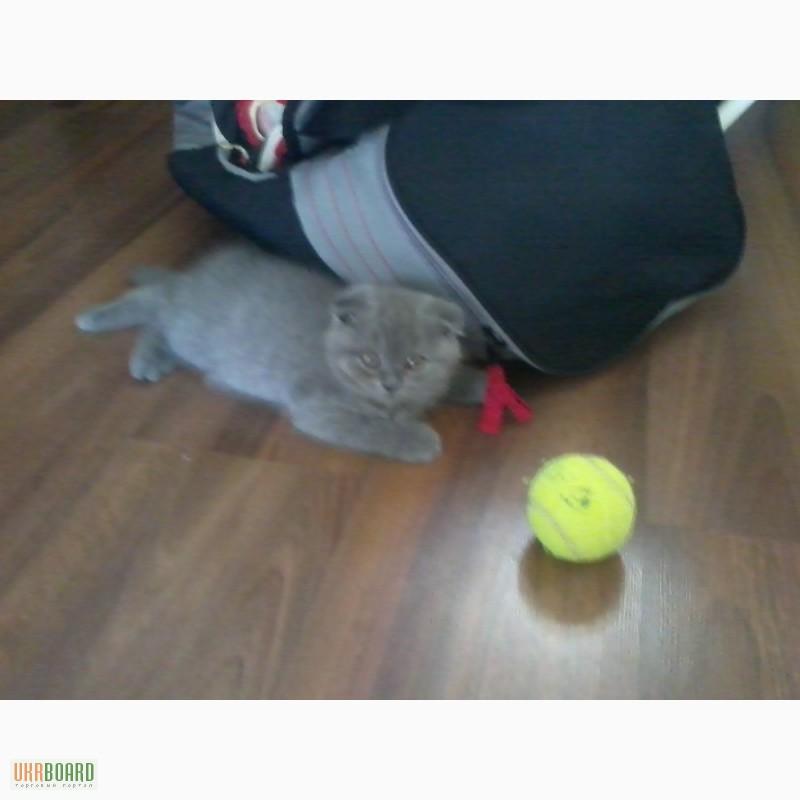 Британский вислоухий котенок кам