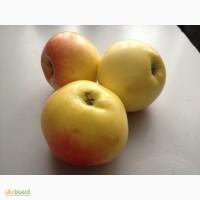 Продам яблоки Ренет золотой Курский