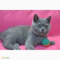 Чистокровный котик -британец из питомника