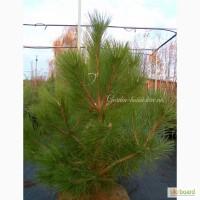 Сосна крымская, 110-250 см