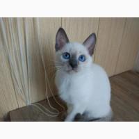Тайские котята, окрас блю-поинт