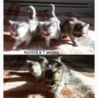 Котята сибирской породы в добрые руки
