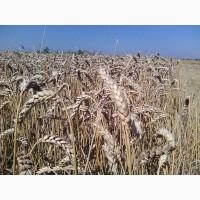 Канадские пшениц Тазос, Омаха, Тэсла - 1реп. (двуручка)