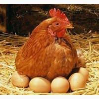 Купить яйцо для инкубации, яйцо Мастер Грей, Редбро, Испанка. Фокси Чик