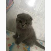 Продам кота-британець