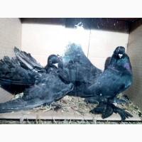 Продам декоративных голубей