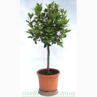 Продам комнатное растение Лавр и много других растений (опт от 1000 грн)