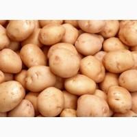 Купимо кормову картоплю для худоби