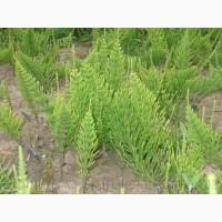 Продам Хвощ и много других растений (опт от 1000 грн)