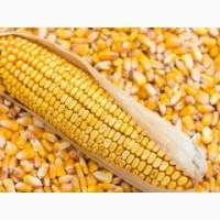 Закупаем кукурузу по всей Украине, хорошие цены