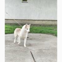 Siberian husky female puppy