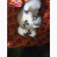 Продаются чудесные тайские котятки