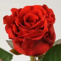 Продам Чайно-гибридная роза El Toro (Эль Торо)