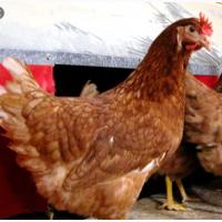 Курячі інкубаційні яйця Хайсекс Браун