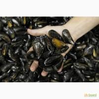 Продам мидии живые черноморские в ракушке