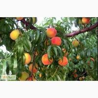 Продам земля плодоносящий сад Одесская обл