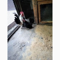 Продам миниатюрных курочек. порода: Малазийская Серама