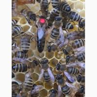 Матка Карпатка 2019 ПЛІДНІ БДЖОЛОМАТКИ Пчеломатки, Бджоломатки, Бджолині матки