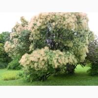 Продам саженцы Скумпия кожевенной и много других растений (опт от 1000 грн)