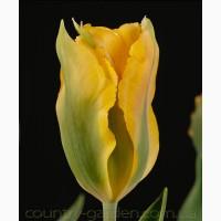 Продам луковицы Тюльпанов Виридифлора и много других растений (опт от 1000 грн)
