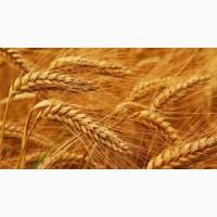 Закупаем пшеницу оптом 2-4 класса.Самовывоз