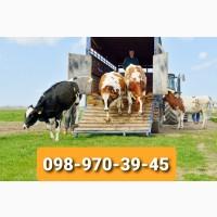 Приймаєм ВРХ на мясо (бики до 49 грн)