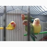 Продам попугаев неразлучники