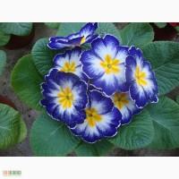 Примула, цена, цветы, купить, продажа, оптом, Киев