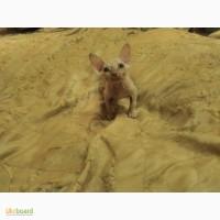 Продам котенка сфинкса