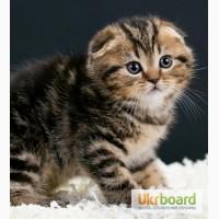 Золотой по характеру котенок скоттиш фолд мраморного окраса