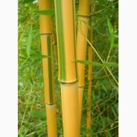Семена бамбука Phyllostachys Spectabilis (25 шт)