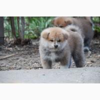 Продаються щенята Akita inu